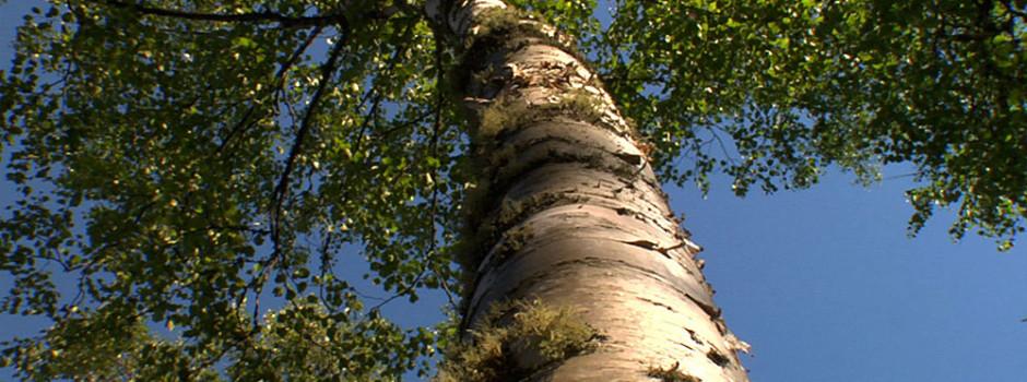 birch_tree1